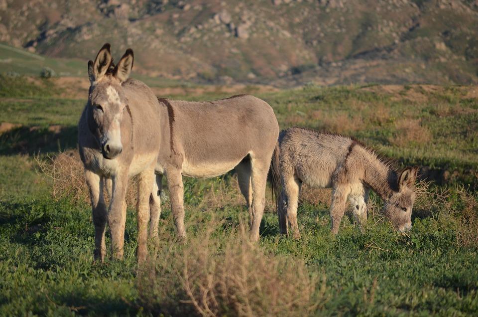 wild burro herd
