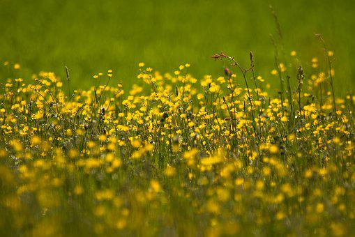 Buttercup images pixabay download free pictures buttercup ranunculus field of flowers mightylinksfo