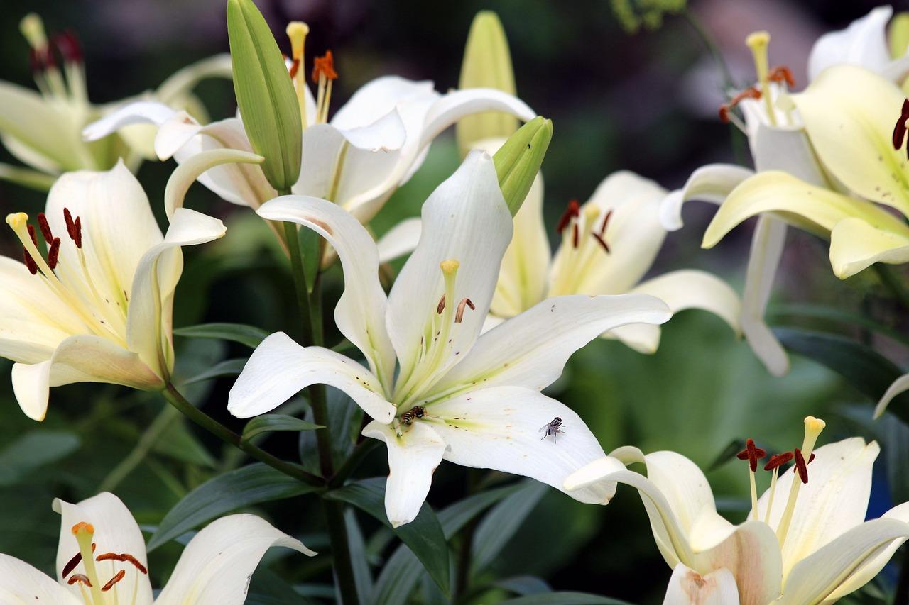 Найти картинки белых лилий