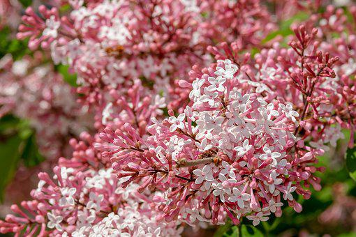 Small flowers images pixabay download free pictures lilac small leaf lilac flowers bloom mightylinksfo