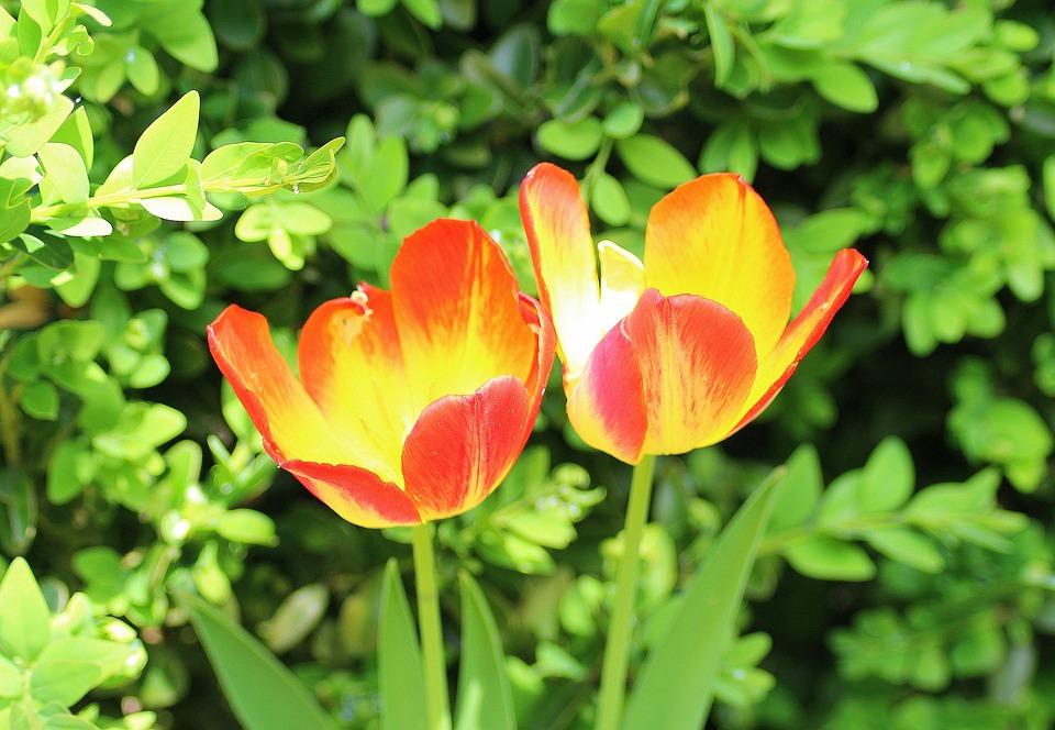 Tulipani, Due, Primavera, Aprile, Menopausa