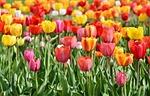 tulipany, pola tulipanów, tulpenbluete
