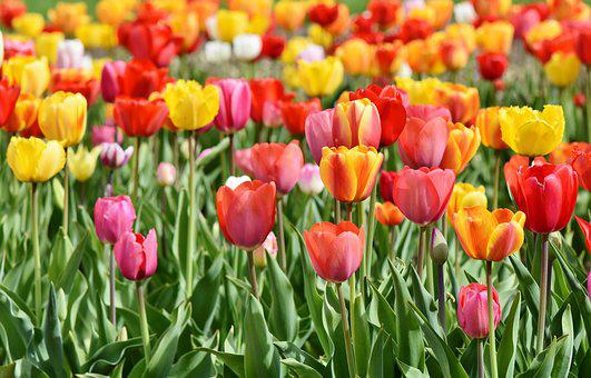 Spring flowers images pixabay download free pictures tulips tulip field tulpenbluete mightylinksfo Images
