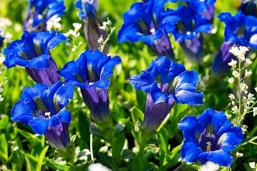 200+ Free Gentian & Flower Photos - Pixabay