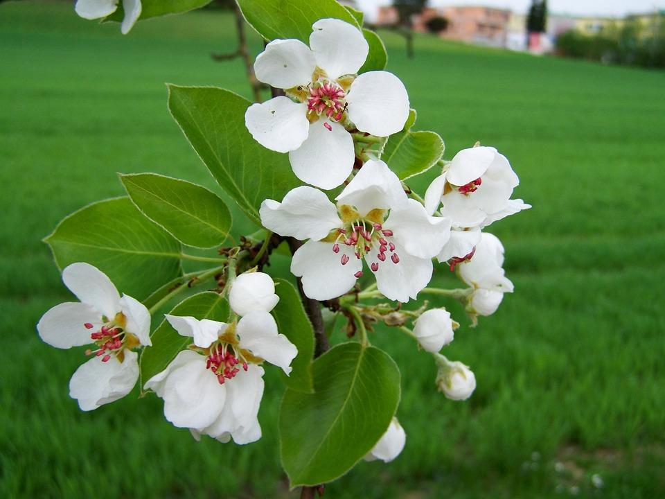 цъфтящо дърво Череша Цъфтящо Дърво Spring Клон · Безплатни фотографии на Pixabay цъфтящо дърво