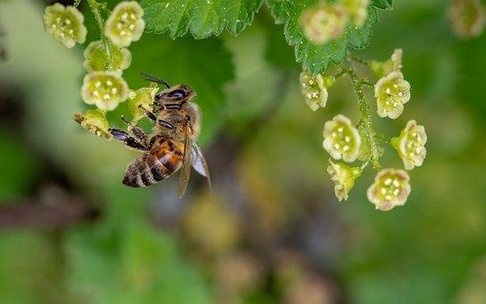 Biene, Honigbiene, Insekt