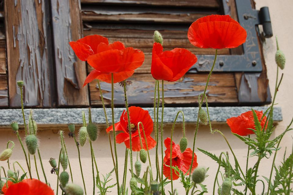 Flowers poppies nature poppy free photo on pixabay flowers poppies nature poppy red mightylinksfo