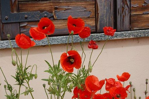 Fleurs, Coquelicots, Nature