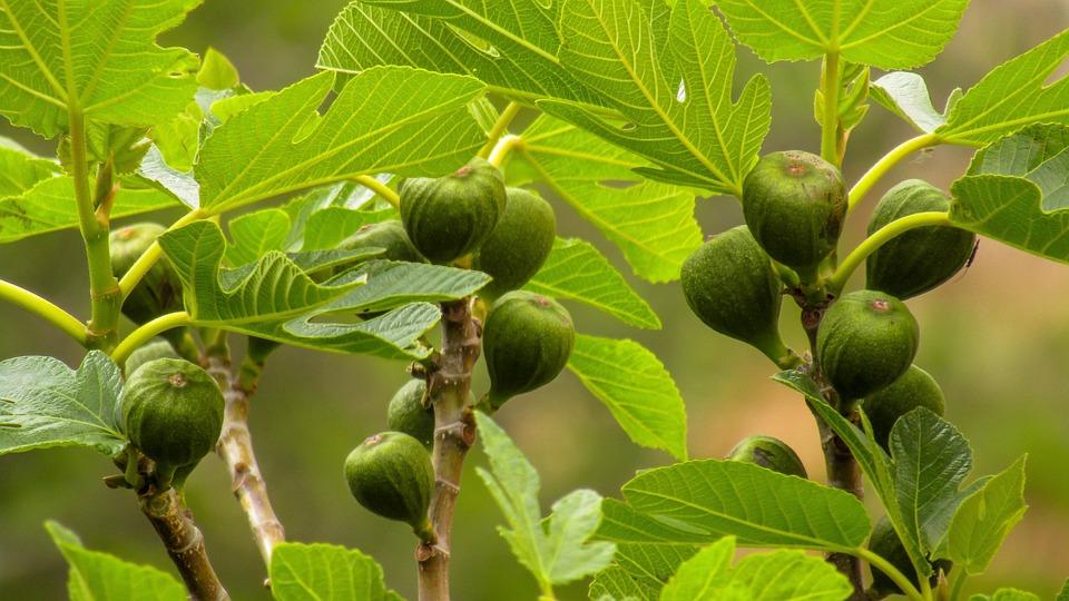 Higos, Alimento, Fruta Silvestre, Hoja, Planta, Comida
