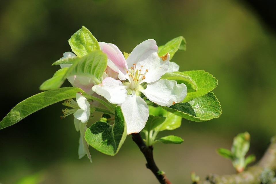 Apple flower spring fruit trees free photo on pixabay apple flower spring fruit trees flowering trees sad mightylinksfo