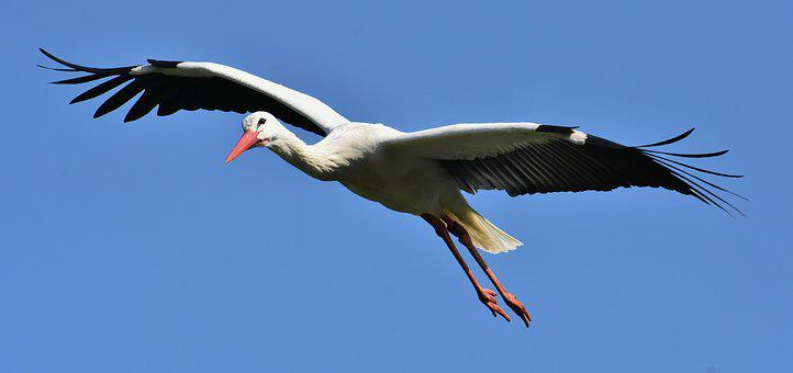 Stork, Flying, Wing, Birds, Plumage