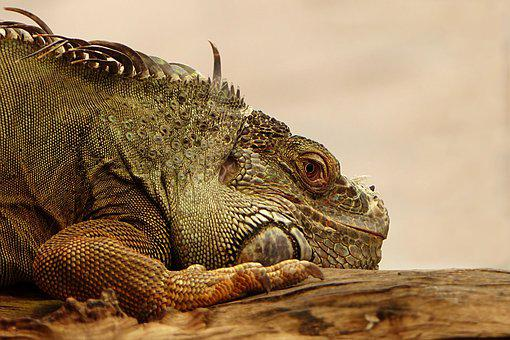 Animal, Reptile, Lizard, Iguana, Nature