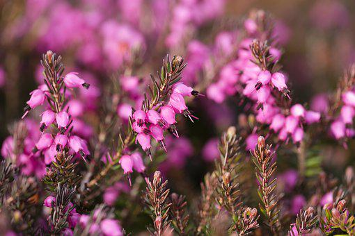 Heather images pixabay download free pictures heather heather green irish heath mightylinksfo