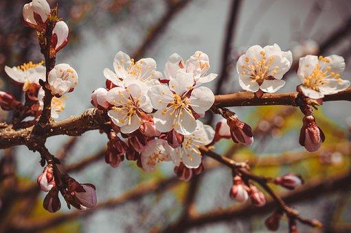 Květ, Strom, Jaro, Kvetoucí Větve