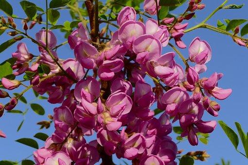 100 Free Acacia Flowers Acacia Images Pixabay
