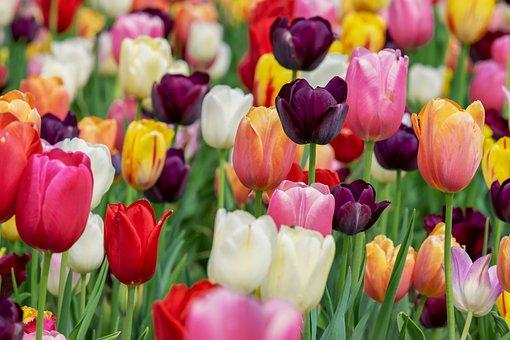 Tulip, Blossom, Bloom, Violet, Flowers
