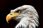 adler, bielik, ptak