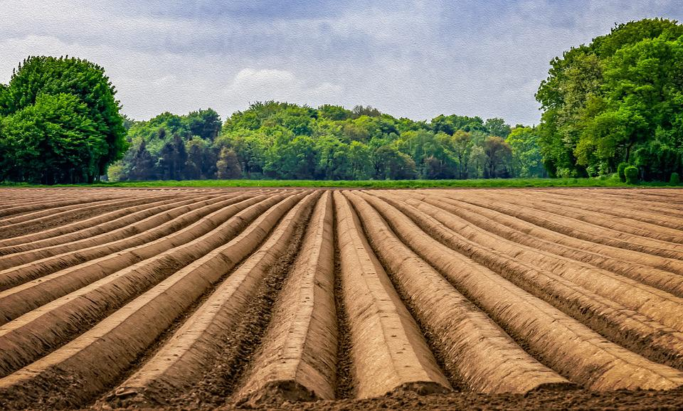 como plantar espargos na horta