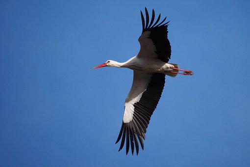 Nature, Bird, Stork, Flight, Sky