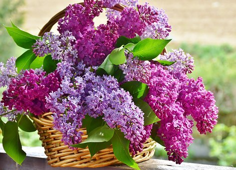 Šeřík, Květinové Koše, Květiny, Rostlin
