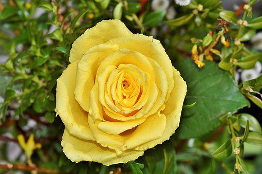 Yellow roses images pixabay download free pictures rose yellow rose garden rose mightylinksfo