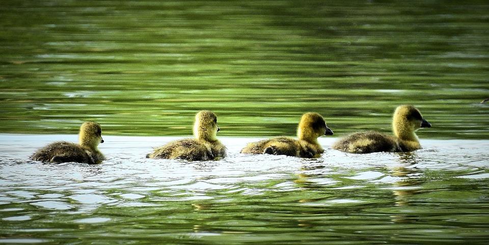 jonge ganzen
