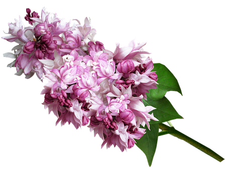 Lilac Flower Images Pixabay Download Free Pictures