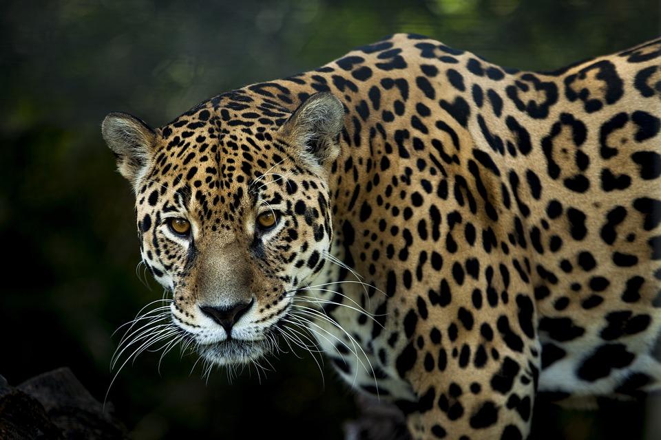 Jaguar, Stains, Look, Fiera, Stalking, Eyes, Jaguarete
