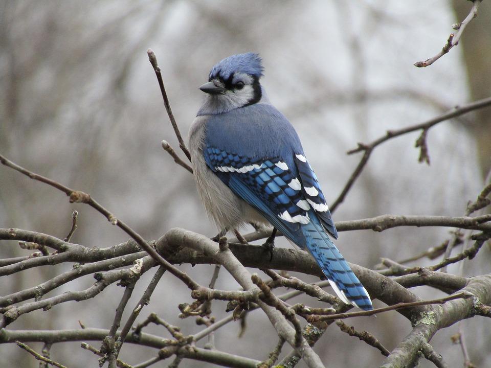 Vogel Blue Jay Het Wild Levende Gratis Foto Op Pixabay