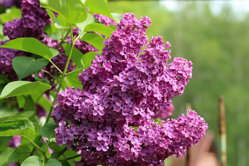 Nélkül, Lila, Május, Tavaszi, Bokor, Virág, Természet