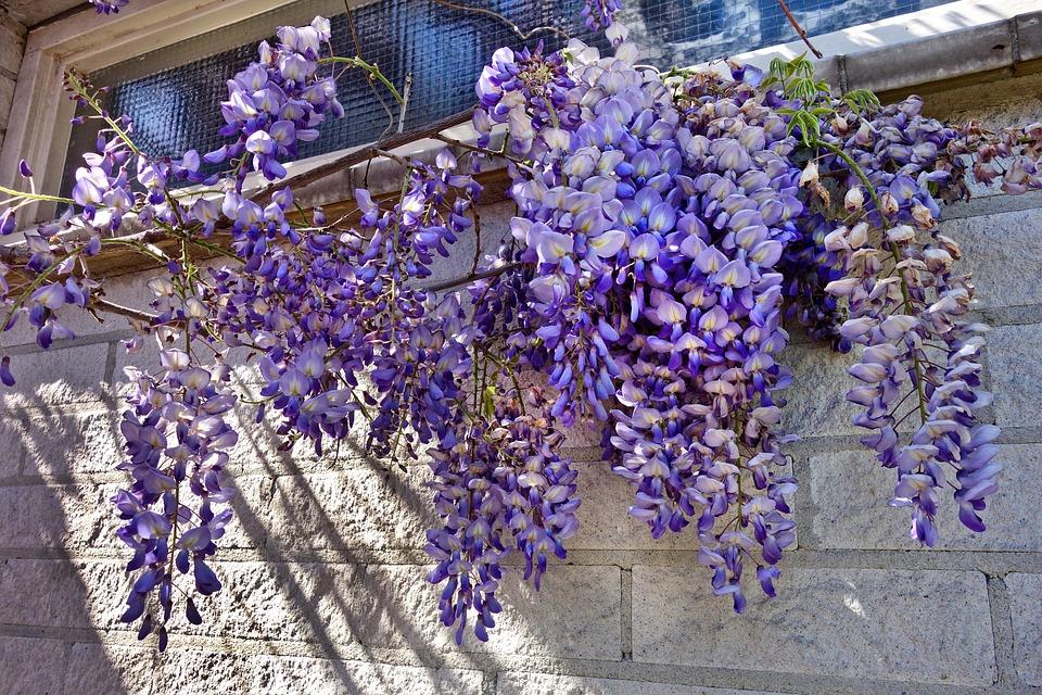 Wisteria Tanaman Bunga Foto Gratis Di Pixabay