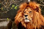 lew, drapieżnik, niebezpiecznych