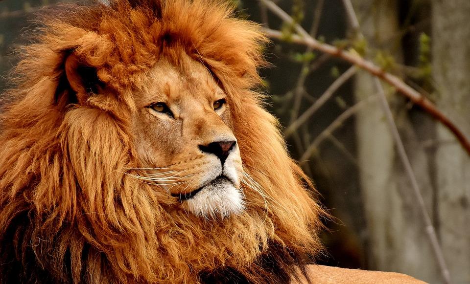 狮子, 捕食, 危险, 鬃毛, 大猫, 男性, 野生动物, 动物