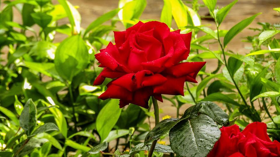 Resultado de imagen para rosal roja