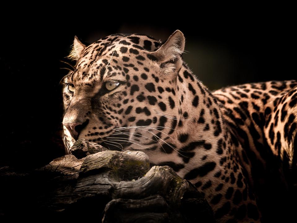 Kot Przyrody Lampart Darmowe Zdjęcie Na Pixabay