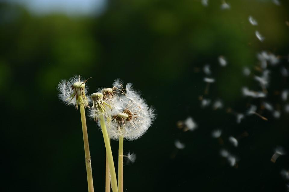 Dandelion flower white free photo on pixabay dandelion flower white macro fluff spring faded mightylinksfo Images