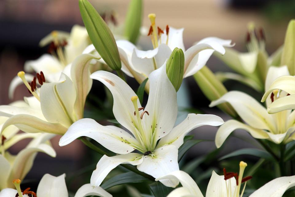 White Lilies Flower Nature · Free photo on Pixabay