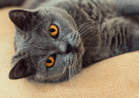 Cat, Is, Grey, View, Eye Contact