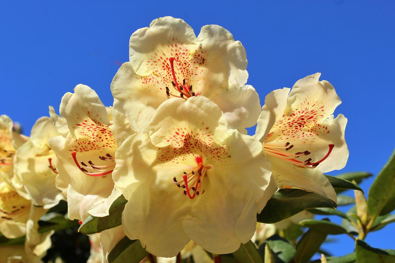 Rhododendron Yellow Flower Free Photo On Pixabay
