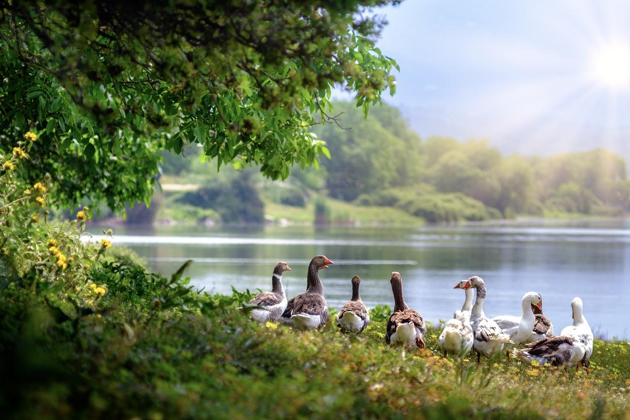 雁, 水鳥, 群れ, Waddling, 湖, ガチョウ, 田舎, 鳥, 水, 木, 水生生物, 自然