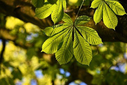 Chestnut Leaf, Tree, Foliage, Leaves