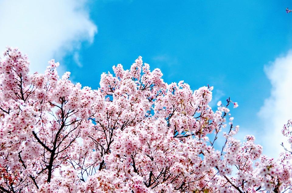 Sakura, Takato Fiori Di Ciliegio
