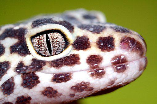 The Lizard, Reptiles, Leopard Gecko