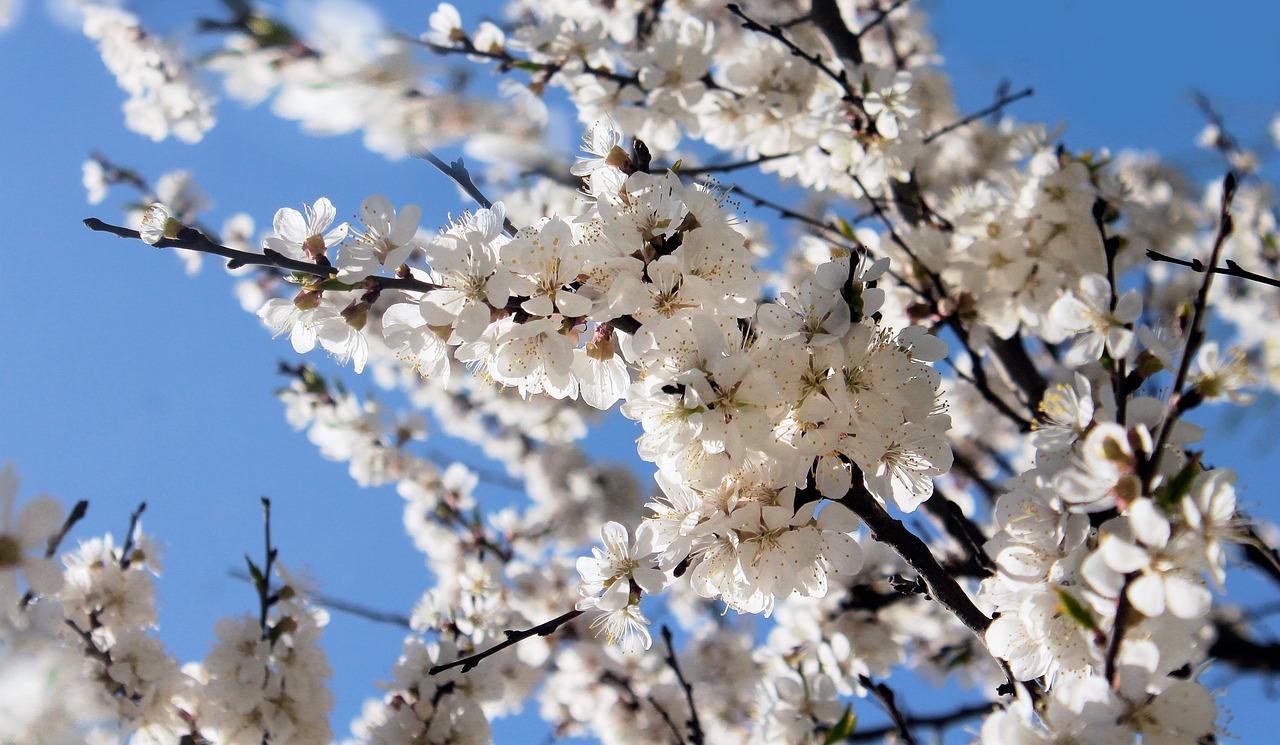 весна вишня цветет фото изобразить вывеске