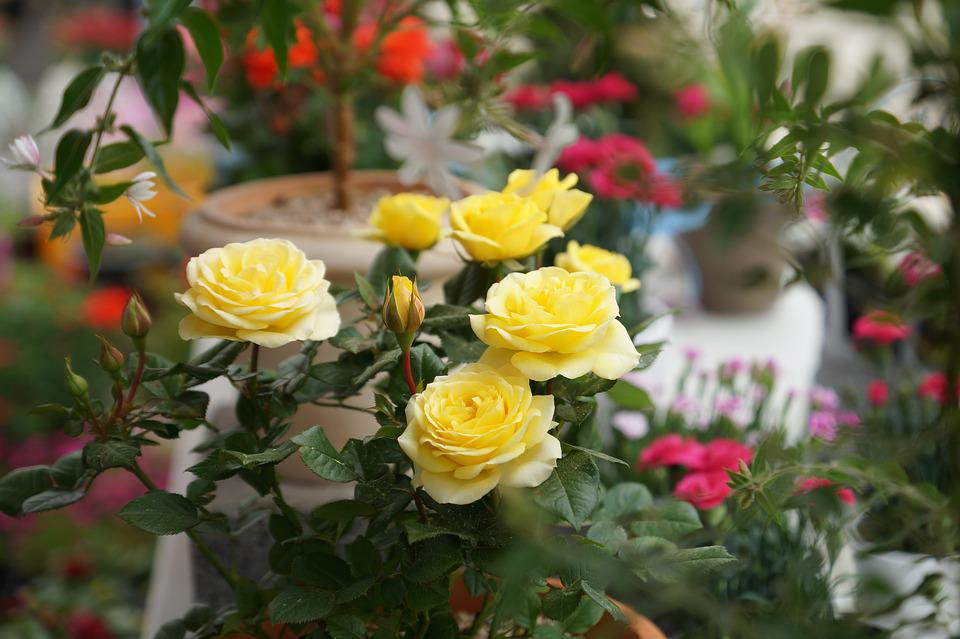 Yellow roses flowers may free photo on pixabay yellow roses flowers may rose mightylinksfo