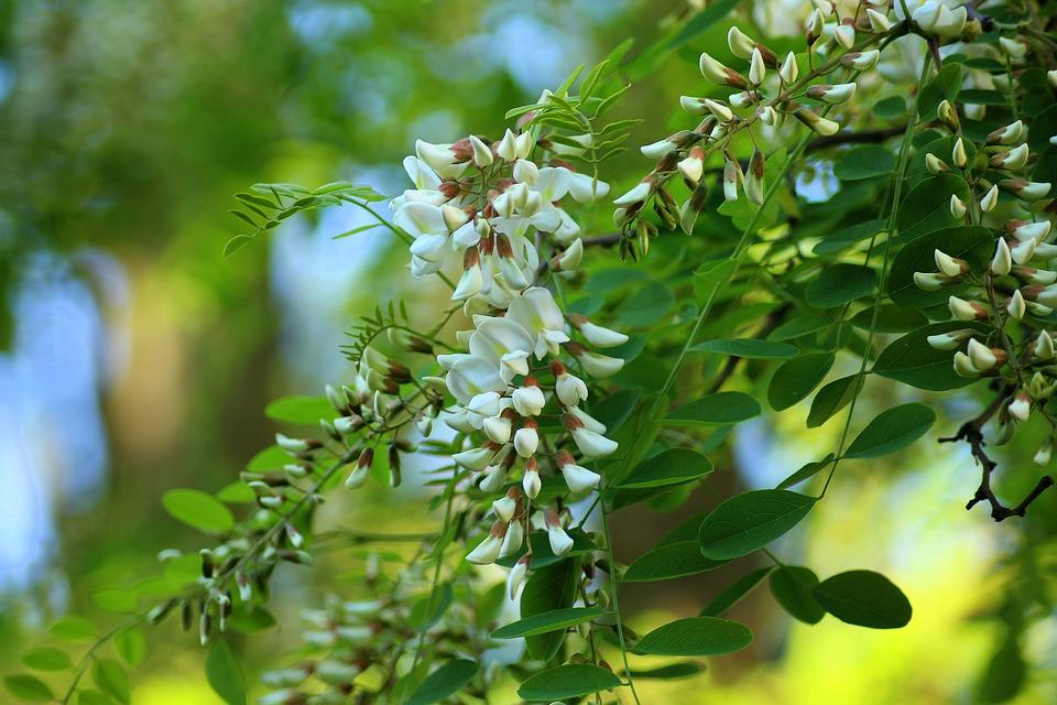 Acacia flowering tree free photo on pixabay acacia flowering tree spring may white flowers mightylinksfo Choice Image