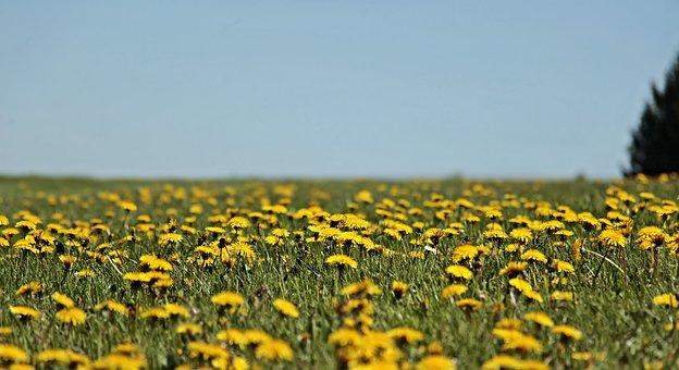 タンポポ, 牧草地, タンポポの草原, スプリング, 黄色, 夏, 花, 自然