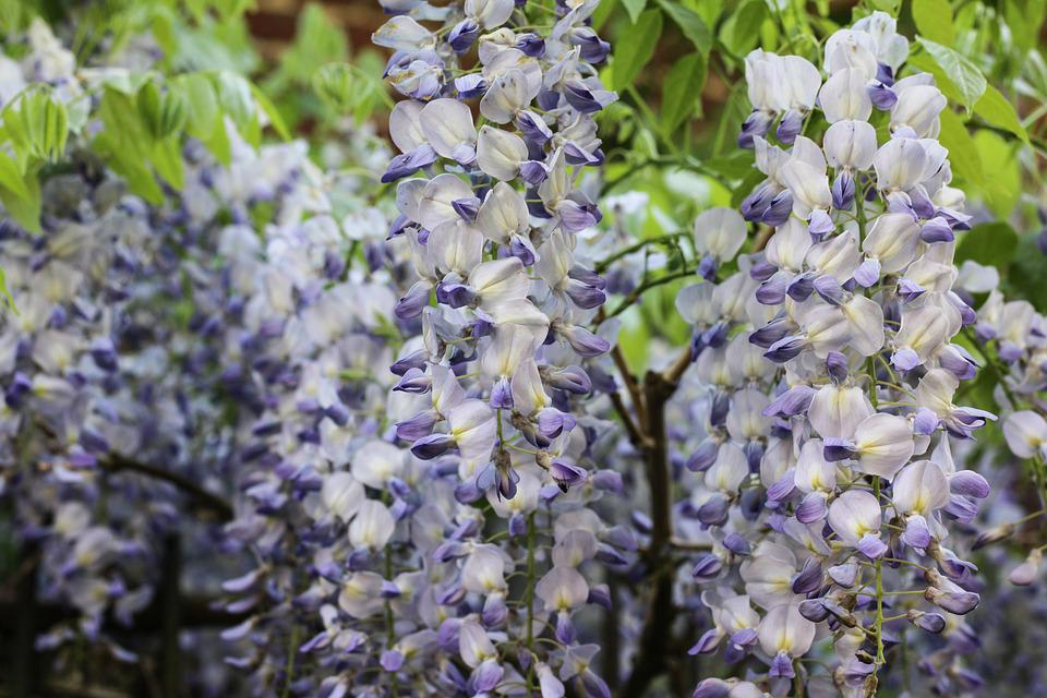 Glycine Grimpante Fleurs Violettes Photo Gratuite Sur Pixabay