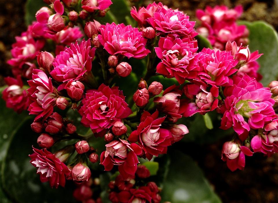 Fleur Kalanchoe Photo Gratuite Sur Pixabay