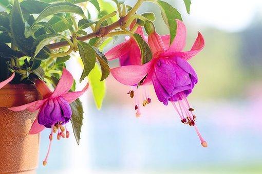 Fuchsia, Flowers, Macro, Pink, Purple